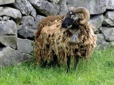 Iron Age Sheep at Craggaunowen