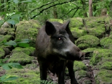 One of the boars - these are behind an electrified wire fence.  Part of a large herd at Craggaunowen.