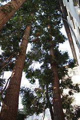 Western Red Cedar Logs - Often used in Log Cabins
