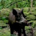A wild boar from Craggaunowen